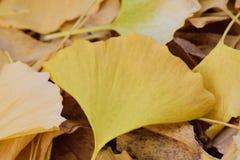 下落的黄色秋天银杏树叶子 免版税库存照片