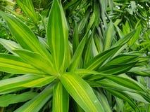 下落软的焦点与叶子com植物或龙血树属植物树的作为背景 库存图片