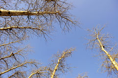 下蓝天高大的树木 免版税库存照片