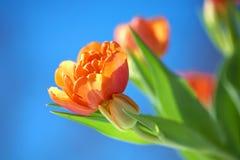 下蓝色橙色天空郁金香 图库摄影