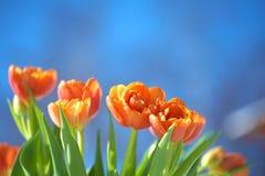 下蓝色橙色天空郁金香 免版税图库摄影
