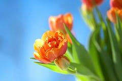 下蓝色橙色天空郁金香 免版税库存图片