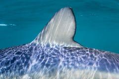 水下蓝鲨鱼的背鳍 图库摄影