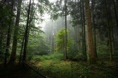 下薄雾的森林 免版税库存照片