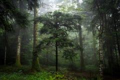 下薄雾的森林 免版税库存图片