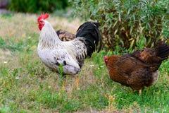 下蛋母鸡在围场 免版税库存图片