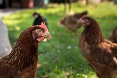 下蛋母鸡 免版税库存图片
