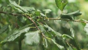 下跌在树叶子的雨下落 股票视频