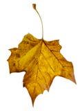下跌的叶子黄色 免版税图库摄影