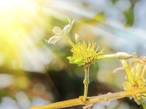 下跌的太阳,甜味白色starJasmin花 免版税库存图片