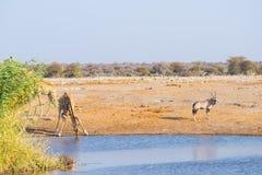 下跪和喝从waterhole的长颈鹿在白天 站立在池塘银行的羚羊属 野生生物徒步旅行队在埃托沙国家公园, 库存图片