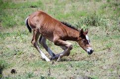 下跪在牧场地的年轻马驹 库存照片