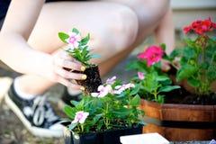 下跪的妇女种植一朵桃红色花 库存照片