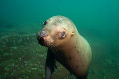 水下逗人喜爱的海狮的画象 免版税库存照片