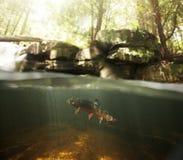 水下野生的溪红点鲑 免版税库存照片