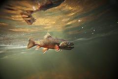 水下野生的溪红点鲑 库存图片
