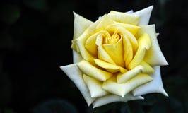 下雨在一朵黄色玫瑰的瓣的下落 免版税库存图片