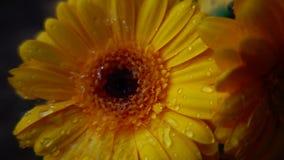 下雨在大丁草花,慢动作 股票视频