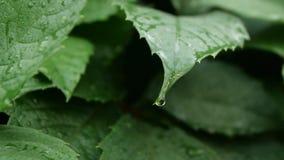 下雨在热带叶子的下落在软的慢动作 股票录像