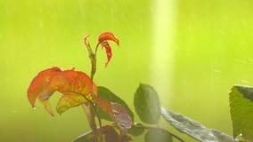 下雨在美丽的绿色植物本质上 股票录像