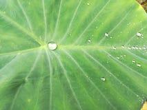 下雨在莲花叶子 图库摄影