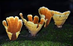 下雨在金黄橙色杯子的下落Stereum牡蛎属(土耳其尾巴)多孔菌 库存图片