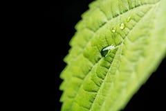 下雨在绿色叶子植物的下落黑背景的 选择聚焦 概念查出的本质白色 免版税库存照片