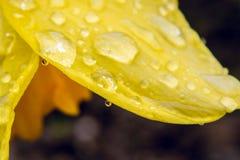 下雨在黄水仙,特写镜头,摘要的瓣的下落在春天 免版税图库摄影