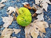 下雨形状的绿色果子, Maclura pomifera (知道当哇洒琪橘) 免版税图库摄影