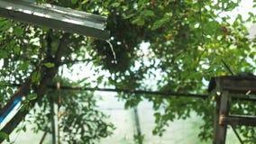 下雨洗涤流动在罐子rainspout下的,看法的关闭 以果子为背景绿色分支的水流失  股票视频