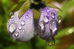 下雨露水下落在一朵紫色花的瓣的 免版税图库摄影