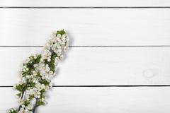 下雨 一个开花的李子的分支在一张白色桌上的 免版税库存照片