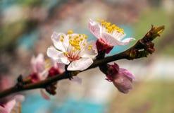 下雨 开花的树在春天被弄脏的backgroun 免版税库存照片