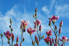 下雨 木兰开花的树分支反对蓝天的 免版税库存照片