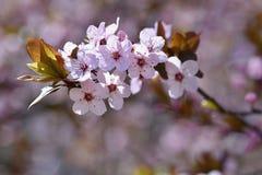 下雨 美妙地进展的树枝 樱桃-佐仓和太阳有自然色的背景 免版税库存图片