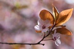 下雨 美妙地进展的树枝 樱桃-佐仓和太阳有自然色的背景 图库摄影