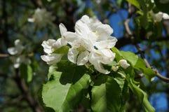 下雨 苹果开花的结构树 与白色精美花和绿色的苹果树在一个春日离开反对蓝天 库存图片