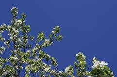 下雨 苹果开花的结构树 与白色精美花和绿色的苹果树在一个春日离开反对蓝天 免版税库存照片