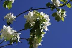 下雨 苹果开花的结构树 与白色精美花和绿色的苹果树在一个春日离开反对蓝天 库存照片