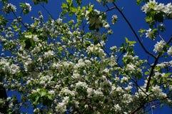 下雨 苹果开花的结构树 与白色精美花和绿色的苹果树在一个春日离开反对蓝天 图库摄影