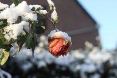 下雪在一朵桃红色橙色花和叶子 库存照片