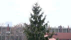 下雪在下跌在杉木前面的慢动作 股票录像