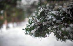 下雪在杉树的叶子 集中于背景 图库摄影