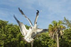 从下面在飞行中战斗在食物,看法的两只鸽子 精采细节比赛 库存图片