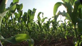 从下面被看见的玉米的种植园 股票录像