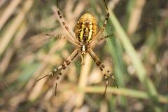 从下面被看见的黄蜂蜘蛛 免版税库存图片