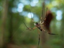下面观点的在一个网的一只金黄天体织布工蜘蛛在Sey 免版税图库摄影