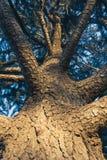 从下面观看一个树冠 库存图片