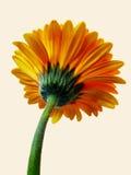 从下面观看的黄色大丁草花 免版税库存照片