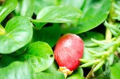 下颌树小的红色莓果-在地面上的罗汗松baccata在绿色庭园花木之间关闭选择聚焦 免版税库存图片